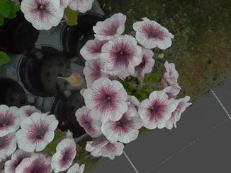 petunia (11)
